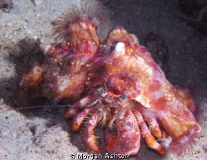 Anemone Hermit Crab. Raja Ampat. They use the anemones as... by Morgan Ashton 